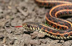 SA not affected by shortage of leading anti-venom, says herpetologist