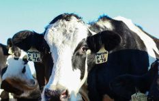 How one Cape dairy farm is lessening their environmental (hoof)print