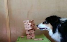 [WATCH] What a good girl! This doggy playing Jenga is everything.