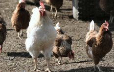 200 000 of the 29 million chickens in the WC culled due to avian flu