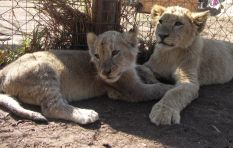 Lion park insists it conducts cub petting in a responsible way