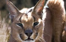 Cape Town caracals under threat from rat poison and poaching