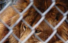 Lion conservationist explains why lion petting is a no-no