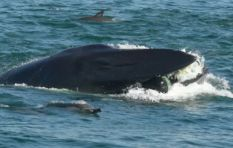 [WATCH] SA diver almost swallowed then spat out by a whale near Port Elizabeth