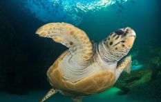 Yoshi back 'home' - Two Oceans Aquarium reflects on a turtle's travels