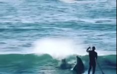 [WATCH] Dolphin knocks man off stand-up paddle board
