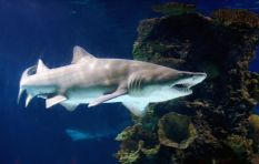 Two Oceans Aquarium to release all its ragged tooth sharks back into the wild