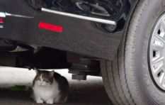 Official Mouser at 10 Downing Street Larry the Cat climbs under Trump's limo