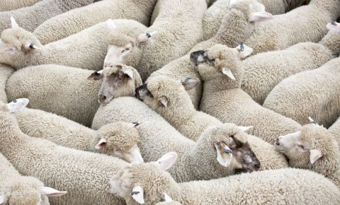 sheep-squashed-together-herd-farm-animals-live-export-trade-livestock-123rf