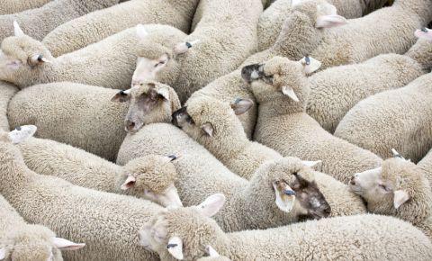 sheep-squashed-together-herd-farm-animals-live-export-trade-livestock-123rf