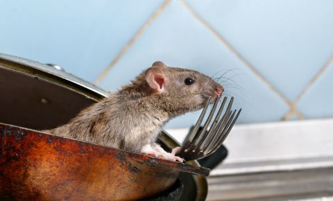 Rat rodents in home 123rf