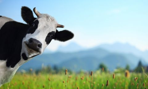 Cow cattle funny 123rf 123rfbusiness 123rflifestyle