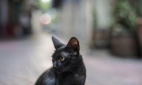 cat-black-pet-animal-123rf
