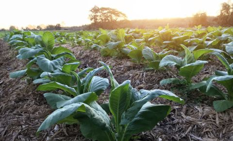 tobacco-farm-farming-cigarette-value-chain-industry-plant-crop-harvest-123rf
