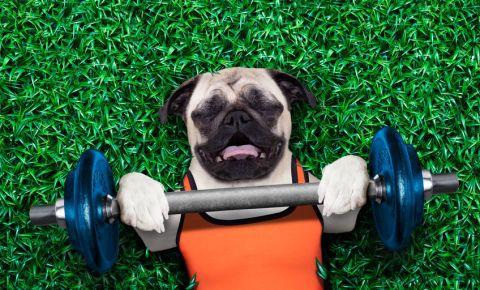 Pug funny dog bench press excercise 123rflifestyle 123rf 123rfsport