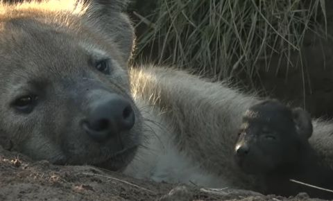Hyena mom Ribbon and baby WIldEarth video screengrab