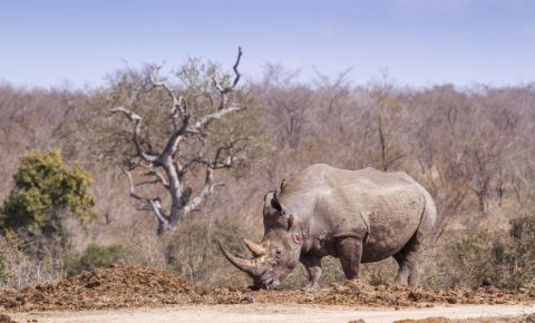 southern-white-rhino-rhinoceros-in-Kruger-National-park-poaching-poachers-123rf
