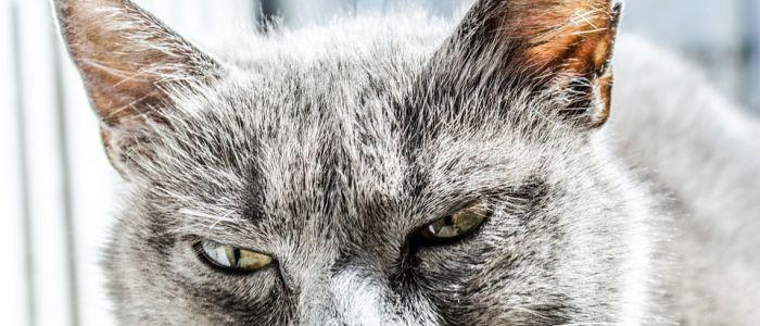 angry-cat-pet-pixabay-imagejpg