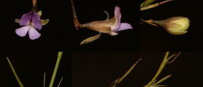 sweet-pea-psoralea-cataractajpg